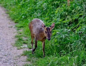 Muntjac deer near Packhorse Bridge, photo by Andy Kail